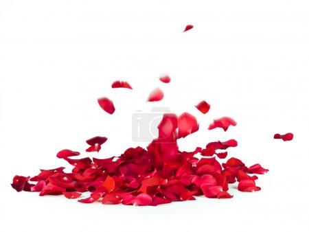 Foto de Caída de pétalos de rosa sobre fondo blanco - Imagen libre de derechos