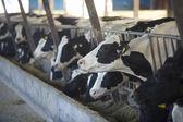 Kráva farma zemědělství kravské mléko