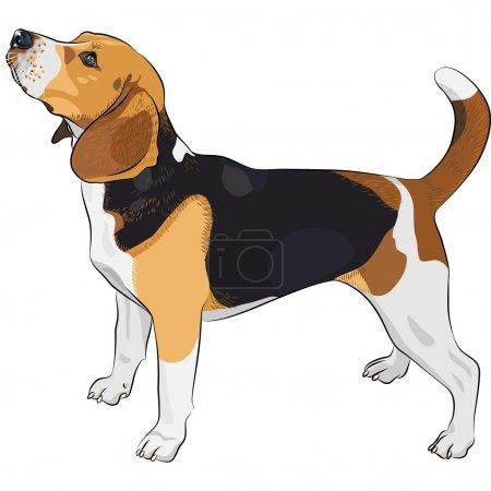 Vector sketch dog Beagle breed
