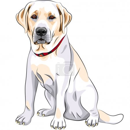Vector sketch yellow dog breed Labrador Retriever sitting