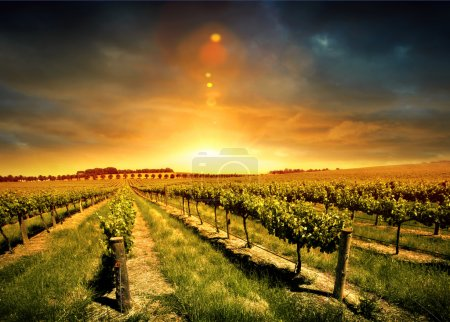 Photo for Beautiful Sunset over a Barossa Vineyard - Royalty Free Image