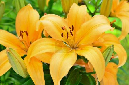 Yellow lily flowers, Lilium