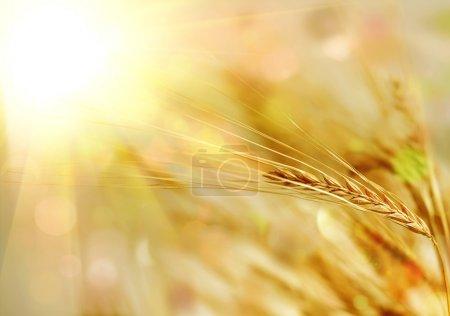 Atardecer dorado sobre campo de trigo