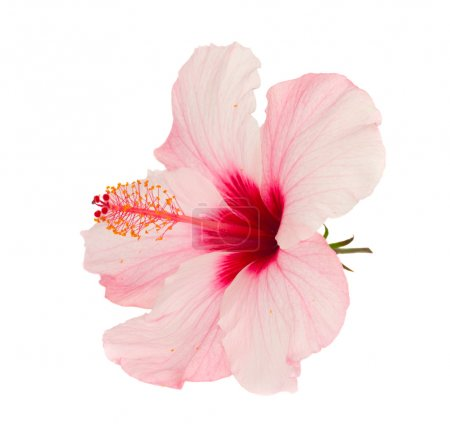 Photo for Pink hibiscus flower isolated on white background - Royalty Free Image