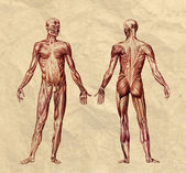 Poster Human muscular system old print