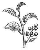 Saint Lucie Cherry or Prunus mahaleb vintage engraving