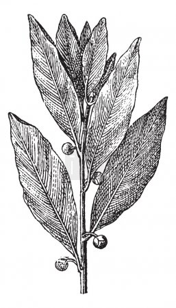 Bay Laurel or Laurus nobilis, vintage engraving