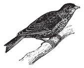 Linnet or Carduelis cannabina vintage engraving