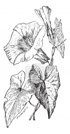 Illustration for Bindweed or Convolvulus sp., vintage engraved illustration. Dictionary of Words and Things - Larive and Fleury - 1895 - Royalty Free Image