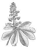Indian Chestnut or Aesculus sp vintage engraving