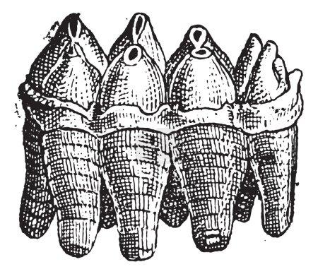 Mastodon Upper Molar, vintage engraving