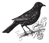 Common Blackbird or Turdus merula Perched on a Branch vintage engraved illustration Dictionary of Words and Things - Larive and Fleury - 1895