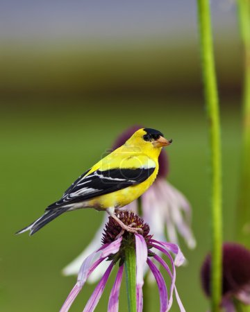 A close up shot of a male American Goldfinch (Carduelis tristis) also known as the Eastern Goldfinch and Wild Canary on top of a purple flower.