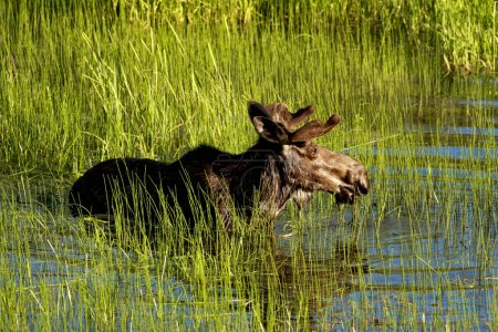 Photo pour Un orignal mâle patauge dans l'étang humide pour se nourrir de l'herbe près de Cataldo Mission, Idaho . - image libre de droit