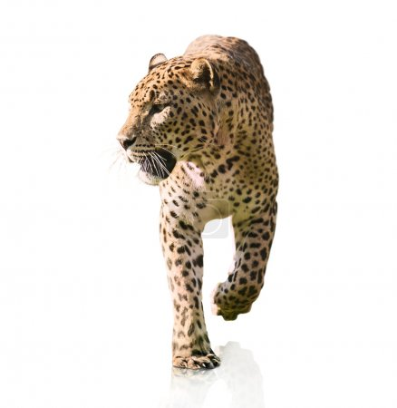 Portrait Of A Leopard Walking