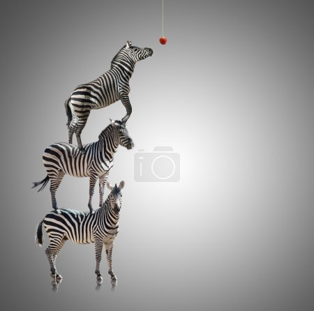 Stack Of Zebra Reaching To Eat Apple On Grey Backg...