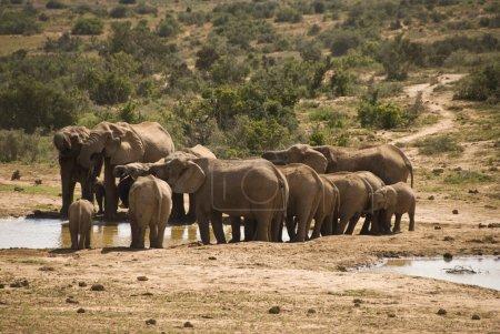Photo pour Troupeau d'éléphants buvant dans un trou d'eau - image libre de droit