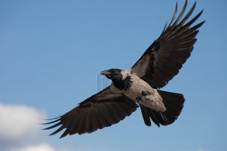 Big grey crow flying in the blue sky
