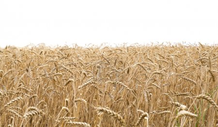 Wheat field and white background