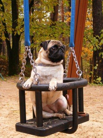 Pug on the swing