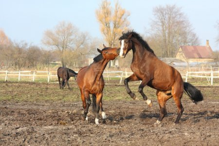 Two brown horses fighting