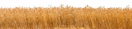 Photo for Panorama shot of a wheat plantation - Royalty Free Image