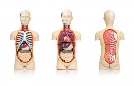 Photo pour Trois vues d'un modèle du corps humain montrant les organes internes - image libre de droit