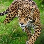 Stunning portrait of jaguar big cat Panthera Onca ...