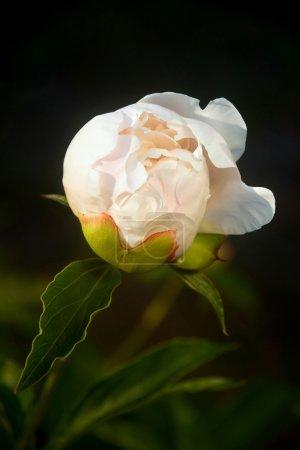 Photo pour Gros plan de Unblown blanc pivoine (Paeonia Lactiflora) - image libre de droit