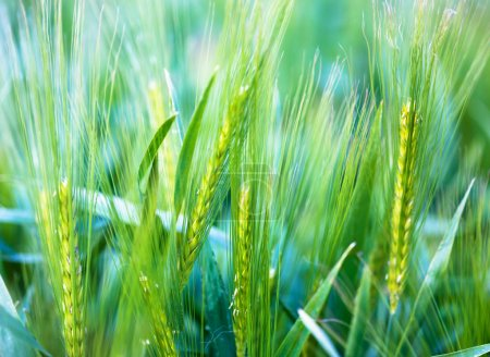 Photo for Ear of wheat - soft background. perfect background, very detailed! - Royalty Free Image