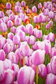 Krásný jarní tulipány v turecké zahradě
