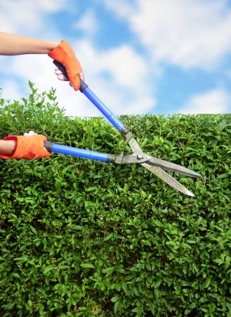 Photo for Hands with garden shears cutting a hedge in the garden - Royalty Free Image