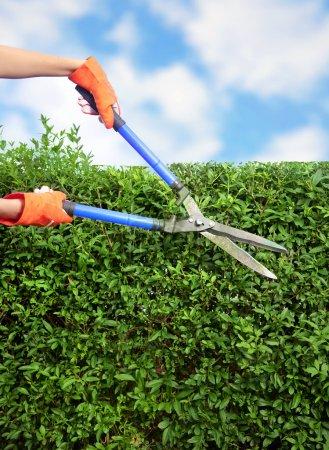 Photo pour Mains avec cisailles de jardin coupant une haie dans le jardin - image libre de droit