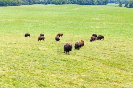 Photo pour Bisons - image libre de droit