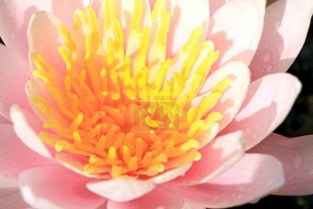 Photo pour Gros plan de lotus rose nénuphar - image libre de droit