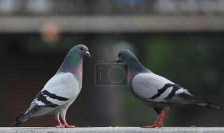 Two pigeons together