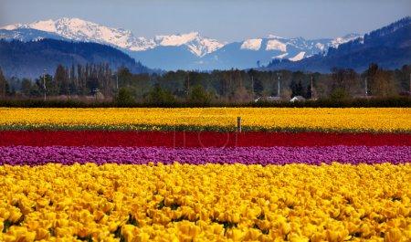 Yellow Red Purple Tulips Flowers Snow Mountains Skagit Valley Wa