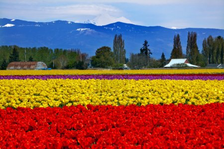 Red Yellow Tulips Flowers Mt Baker Skagit Valley Washington Stat