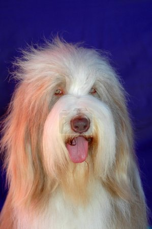 Old English Sheepdog - Bobtail