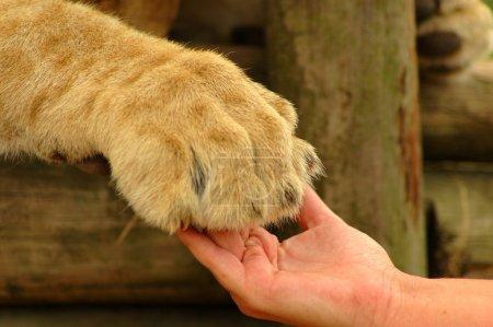 Photo pour Une main blanche d'une femme caucasienne et une grosse patte de lion africain montrant l'interaction entre l'être humain et l'animal sauvage - image libre de droit