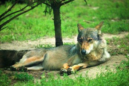 Photo pour Loup au repos - image libre de droit