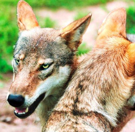 Photo pour Une meute de loups dans les bois - image libre de droit