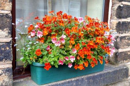 Window box with nemesia flowers.