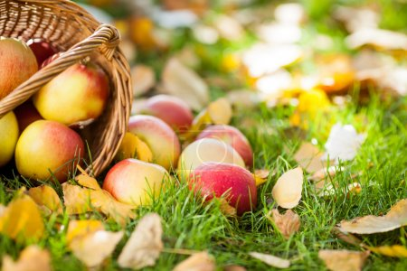 Photo for Red juicy apples scattered on yellow leaves. Autumn harvest concept - Royalty Free Image