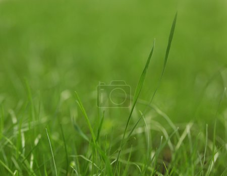 Photo for High resolution green grass closeup - Royalty Free Image