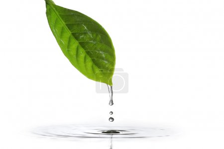 Photo for Water dripping of a leaf - Royalty Free Image