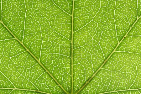 Photo for Closeup of a leaf - Royalty Free Image