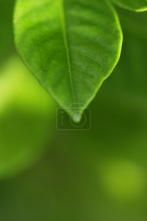 Photo for Green leaf - Royalty Free Image
