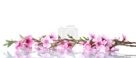 Foto de Hermosa flor de durazno Rosa aislado en blanco - Imagen libre de derechos