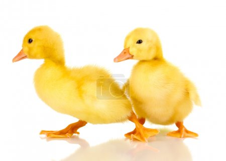 Two duckling isolated on white